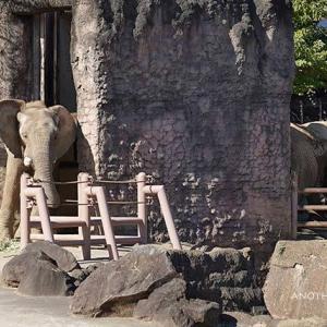 自分のペースで過ごすチーキ 11月中旬のアフリカゾウ舎 その3 多摩動物公園