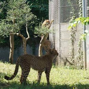 あちこちで走りだす五つ仔 走るDNA 8月下旬のデュラ親子 その2 多摩動物公園 チーター