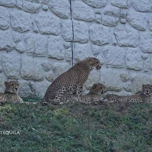 お隣さん(ニーム)が気になるちび達 11月上旬のデュラ親子 その2 多摩動物公園 チーター
