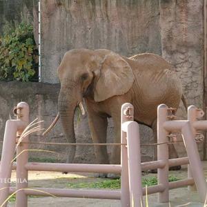 アコさん流の青草の食し方 11月下旬のアフリカゾウ舎 その2 多摩動物公園