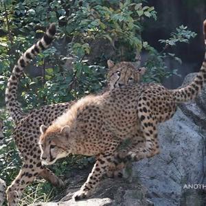 二度ビックリのロン 11月上旬のデュラ親子 その3 多摩動物公園 チーター