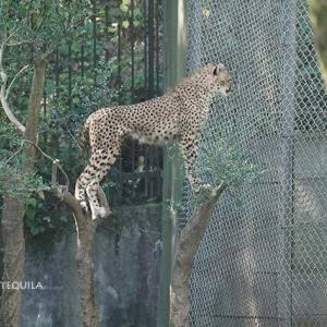 お隣さんが気になるデュラ親子 11月上旬のデュラ親子 その7 多摩動物公園 チーター