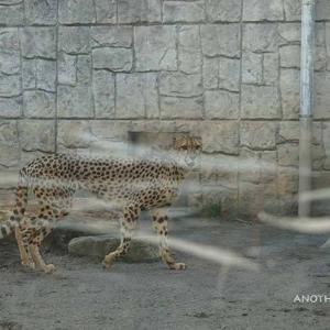 いつの間にか仲良しになってました 3月中旬のブランカとコハク その4 多摩動物公園 チーター