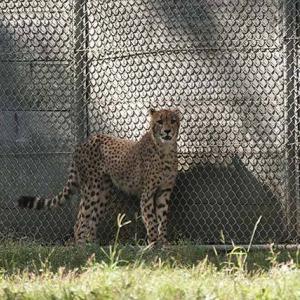 エビスとハヤト 11月上旬のデュラ親子 その8 多摩動物公園 チーター