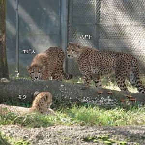 デュラを追いかけるハヤト 11月上旬のデュラ親子 その9 多摩動物公園 チーター