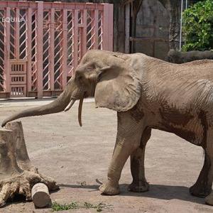 アコさんの放飼場探索 休園明けのアフリカゾウ舎 その5 多摩動物公園