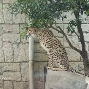 一歩ずつ前進しています ブランカとコハク その2 多摩動物公園 チーター
