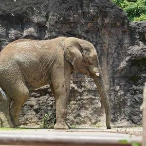 お昼ご飯の時間です 6月下旬のアフリカゾウ舎 その2 多摩動物公園
