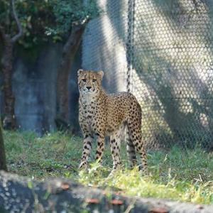 今のうちに沢山遊ぶんだよ 11月中旬のデュラ親子 多摩動物公園 チーター