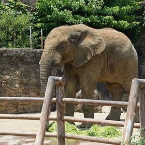 お昼ご飯の時間です 6月下旬のアフリカゾウ舎 その3 多摩動物公園