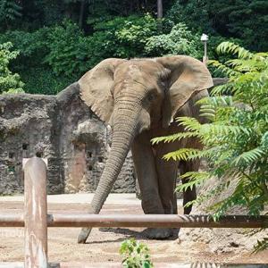 お昼ご飯の時間です 6月下旬のアフリカゾウ舎 その4 多摩動物公園