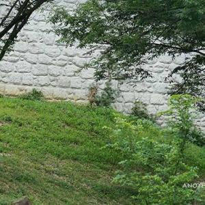 涼しい日は斜面で寛ぐデュラ ちょっとだけキト 7月中旬 多摩動物公園 チーター