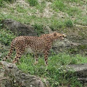 二頭で一緒に点検中 イブキとシュレン 7月中旬 その3 多摩動物公園 チーター
