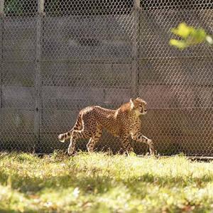 今のうちに沢山遊ぶんだよ 11月中旬のデュラ親子 その11 多摩動物公園 チーター