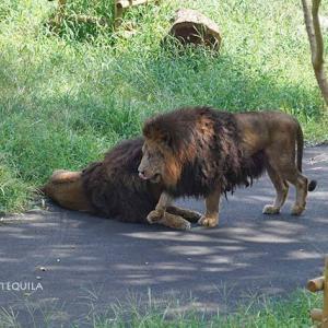 ようやく合流 息ピッタリです ジャンプとスパーク放飼練習 その3 多摩動物公園 ライオン