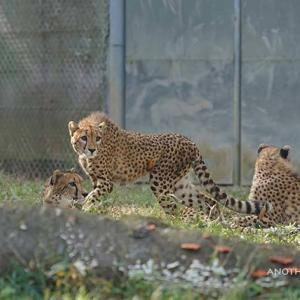 あっちもこっちも気になるキクちゃん 11月中旬のデュラ親子 その9 多摩動物公園 チーター