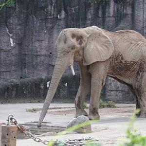 食後のクールダウン 8月中旬のアフリカゾウ舎 その3 多摩動物公園
