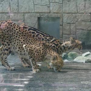 デュラの匂いが残る場所で休むイブキとシュレン 8月後半のイブキとシュレン 多摩動物公園 チーター