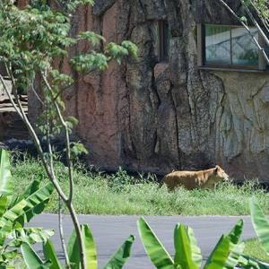 モテモテジャンプ いよいよメス達が登場です 8月下旬放飼練習中のライオン園 多摩動物公園