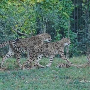 木にしがみ付いて何しているの?キクちゃん 11月中旬のデュラ親子 その11 多摩動物公園 チーター
