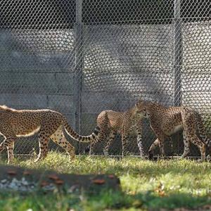 デュラママの大ジャンプ 11月中旬のデュラ親子 その12 多摩動物公園 チーター