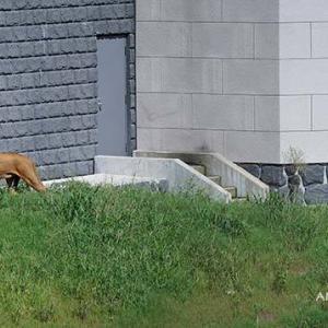 もてもてジャンプ いよいよメス達が登場です その2 8月下旬放飼練習中のライオン園 多摩動物公園