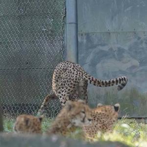 デュラにのし掛かるロン最後は… 11月中旬のデュラ親子 その13 多摩動物公園 チーター