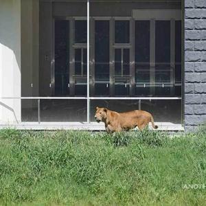 トワは元気です いよいよメス達が登場です その3 8月下旬放飼練習中のライオン園 多摩動物公園