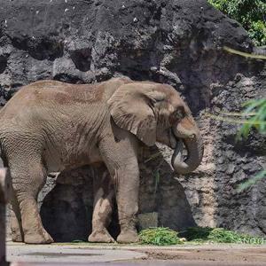 牙のサポーターをゴリゴリ 8月下旬のアフリカゾウ舎 多摩動物公園