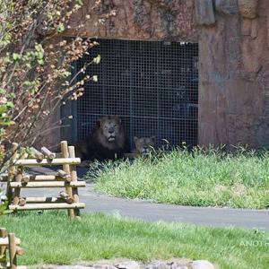 トワは元気です いよいよメス達が登場です その4 8月下旬放飼練習中のライオン園 多摩動物公園