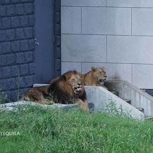 気難しいジャンプ いよいよメス達が登場です その6 8月下旬放飼練習中のライオン園 多摩動物公園