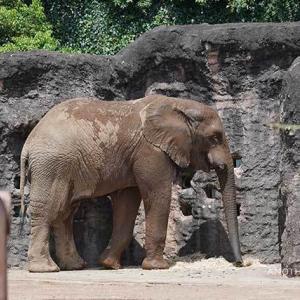 お昼ご飯の時間です 8月下旬のアフリカゾウ舎 多摩動物公園