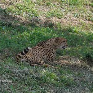 カンガの点検 7月中旬~8月中旬 その2 多摩動物公園 チーター