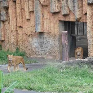 朝のライオン園タナが新たに合流 9月上旬放飼練習中のライオン園 多摩動物公園