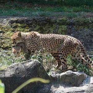 久しぶりの大放飼場 8月下旬のカイとカケル 多摩動物公園 チーター