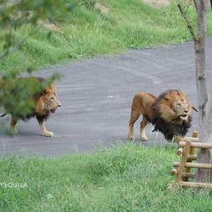 牽制しあうスパークとジャンプ タナが新たに合流 その2 9月上旬放飼練習中のライオン園 多摩動物公園