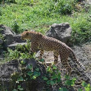 念入りに点検 8月下旬~9月上旬のカイとカケル 多摩動物公園 チーター