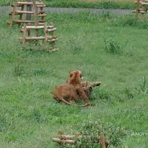タナと遊びたいニイナ タナが新たに合流 その3 9月上旬放飼練習中のライオン園 多摩動物公園