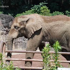 PCウォールに通うアコさん 9月上旬のアフリカゾウ舎 多摩動物公園