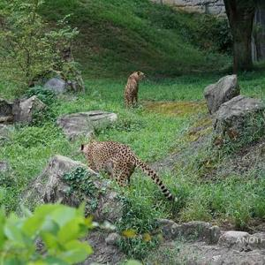 カイが爪とぎする場所 9月中旬のカイとカケル 多摩動物公園 チーター