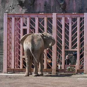 アコさんが羨ましい砥夢君 10月上旬のアフリカゾウ舎 多摩動物公園