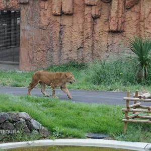 朝のライオン園ミキちゃんとイチゴ合流 9月中旬のライオン園 多摩動物公園
