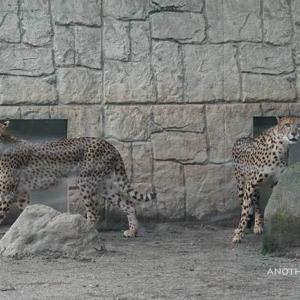 登場して爪とぎ→バビューン 9月中旬のブランカとコハク 多摩動物公園 チーター