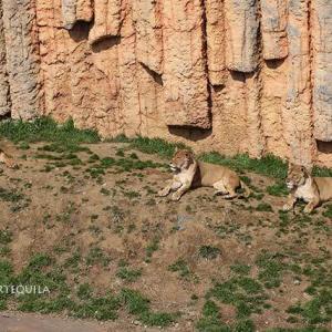 若ライオンの台頭にレボとミサさんケイコさん強まる絆 ミサさんのメモリー 2014年3月~ 多摩動物公園 ライオン