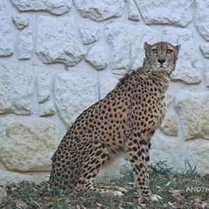 キトとデュラの間に赤ちゃん誕生しました 多摩動物公園 チーター