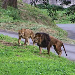 ミサさんvsミキちゃんとナナさん ミサさんのメモリー 2014年9月~ 多摩動物公園 ライオン