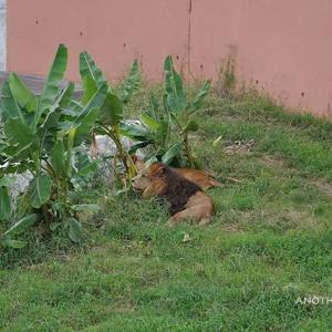 イチゴとニイナ 9月下旬のライオン園 その7 多摩動物公園