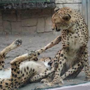 コハクはブランカが大好き 11月のブランカとコハク その3 多摩動物公園 チーター