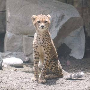 ホタカの百面相 デュラ親子 その3 多摩動物公園 チーター