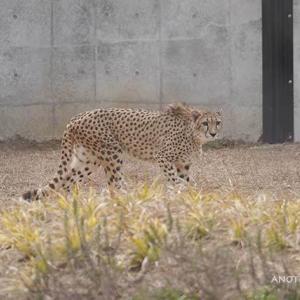 ちっともじっとしてない悪戯っ子のアジャブ 2月上旬のアジャブとアイワ その5 千葉市動物公園 チーター